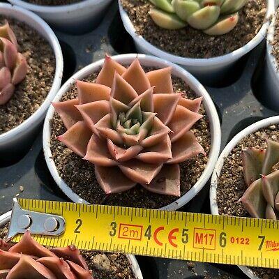 """Echeveria Crystal Rose Korean Rare Succulent Plant in 3/"""" Pot"""