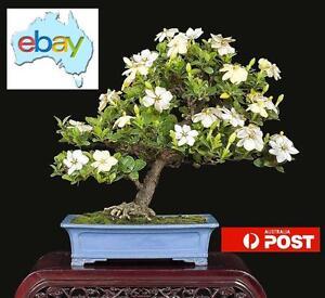 Image Is Loading 100 X GARDENIA CAPE JASMINE BONSAI TREE SEEDS