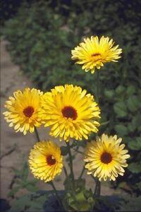 Flor-Caléndula-Pacific belleza Limón-Pot Caléndula - 5000 semillas-Grande  </span>
