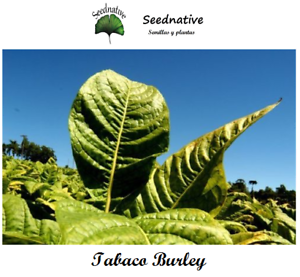 Seeds Nicotiana Tabacum 500 Graines Tabac Burley