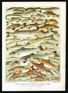 1897-British-Freshwater-Fishes-Trout-Salmon-Antique-Victorian-Print-Lydon