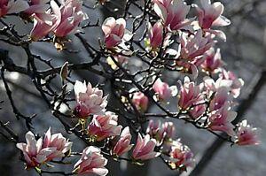 MAGNOLIA-STRUTTURA-Semi-Freschi-Hardy-Blossom-alberi-BELLISSIMO-Giardino-Cespuglio-ALBERO