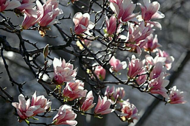 Magnolia Tree Fresh Seeds Hardy Blossom Trees Garden Shrubtree For