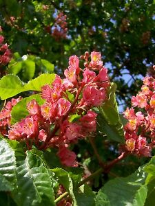 Aesculus-carnea-Briotii-rote-Rosskastanie-70-80cm-Kastanienbaum