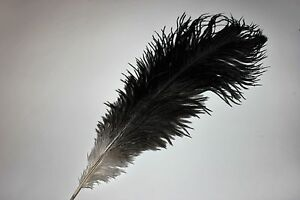 Fifty 50 15-17 old gold drabs ostrich feather first grade 375-420MM