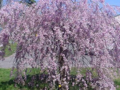 5 Purple Willow Seeds Tree Weeping Flower Giant Full Landscape Garded Yard 675