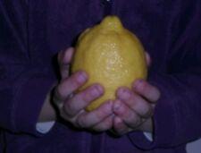 5 Seeds Giant Lemon Fresh Organic Seeds From Israel all season Citrus bonsai