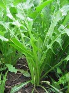 Zichoriensalat-Zahn-De-Leon-550-Saatgut-Frische-Seeds-Cichorium-Intybus-Baby