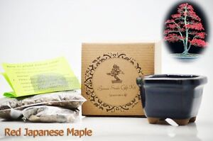 Red-Japanese-Maple-Bonsai-Seed-Kit-Gift-Complete-Kit-to-Grow-GIFT-Holiday-Decor