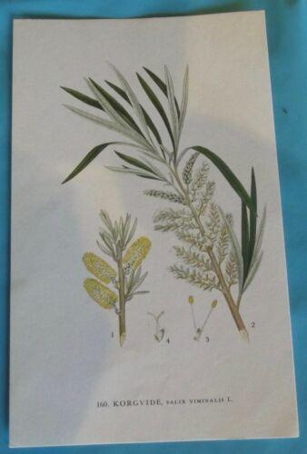 Planche Botanique Art Print poster 160 Saule des vanniers salix viminalis