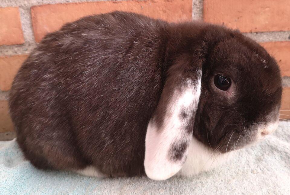 Kanin, Kastreret dværgvædder kanin