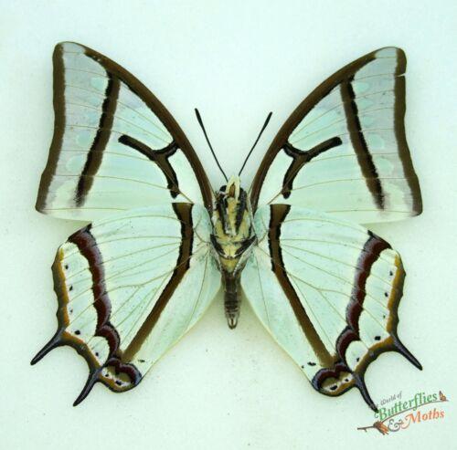 Green Nawab butterfly Polyura narcaeus SET x1 A1 natural history specimen