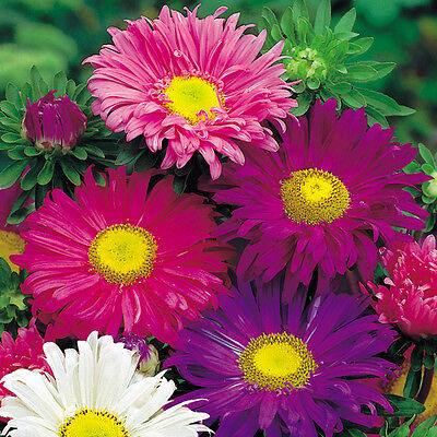 FLOWER ASTER CHINA SINGLE MIXED 4000 FINEST SEEDS  ANNUAL  BULK