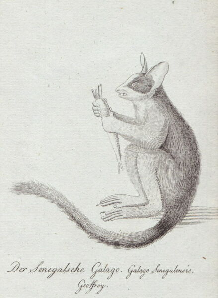 """""""der Senegalsche Galago"""" Feiner Kupferstich Ca. 1780/95, Nicht Signiert"""