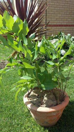 3 x Large Solomons Seal plants Established and strong Hardy perennial