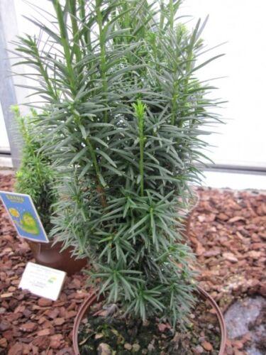 Taxus baccata fastigiata Sibirica Säuleneibe Sibirica