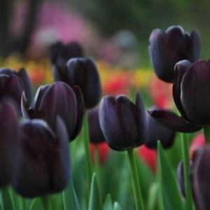 50Stk-Schwarz-Tulpenzwiebeln-Wurzel-Blumen-Balkon-Mehrjaehrige-Hausgartenpflanzen