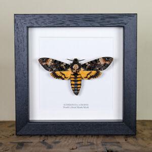 Deaths-Head-Hawk-Moth-in-Back-or-White-Box-Frame-Acherontia-atropos