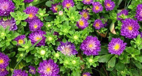 300 Sementes-Callistephus Chinensis Flor anual Aster Anão Mix-Pinocchio