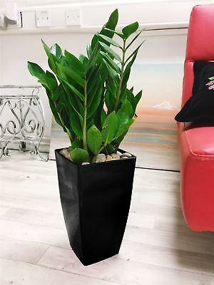 Large Aroid Palm Emerald Zz Plant Tall Milano Pot Gloss