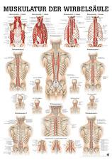 Muskulatur Der Wirbelsäule poster 24cm x 34cm von Rüdiger Anatomie