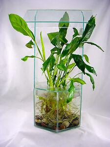 Peace Lily Tropical Live Terrarium Aquarium Plant 1 Feet Tall With Big Root Ebay