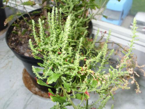 20 fresh seeds - rare herb Chenopodium chilense Chilean Epazote