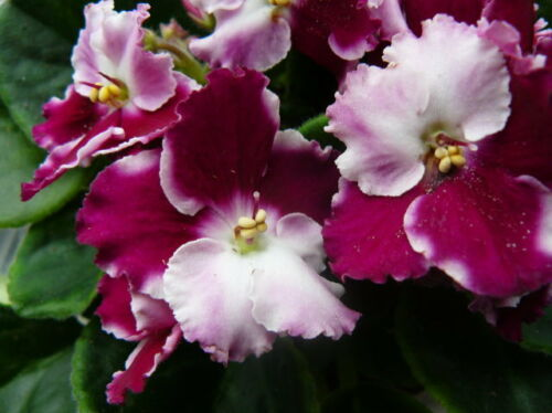 Live Plants 3 Sellers Choice African violet Plant Sale - Three Plants
