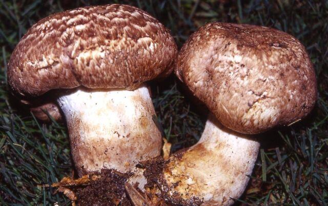 Champignon Steam Dry mushroom spawn//mycelium Agaricus vaporarius 10 g
