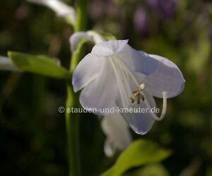 Duftende Garten Lilien Funkie Hosta Plantaginea Honey Bells Ebay