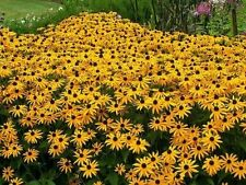 FLOWER - BLACK EYED SUSAN - 50 FINEST SEEDS