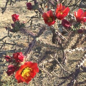 Staghorn-Cholla-Purple-Cactus-Cylindropuntia-versicolor-Lot-of-6-Plant-Cuttings