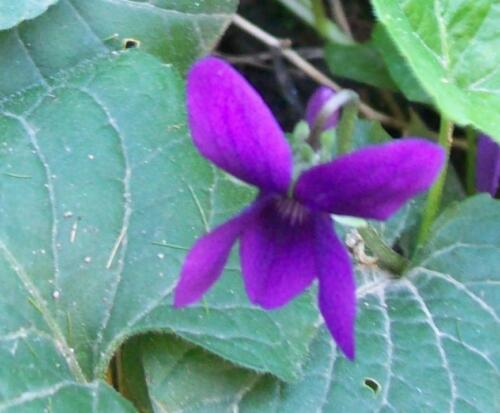 Märzveilchen Heilpflanze seeds semi Viola odorata mind 30 Samen Duftveilchen