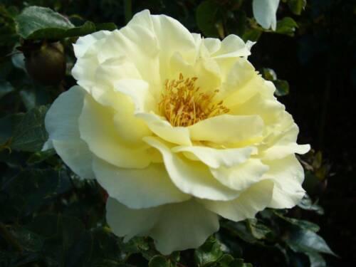 /'Lemon Romantica/' R- Beetrose im 4-Liter-Topf /'White Meilove/' R-