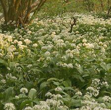 Wildflower Seeds-allium ursinum, aglio selvatico - 200 Semi