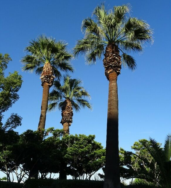 20 graines de Washingtonia filifera / palmier de californie - palm seeds - semi