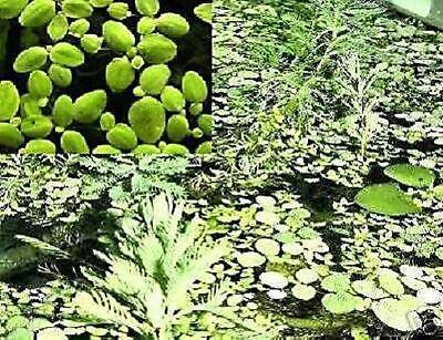 3 Lemna winterfeste schnell wachsende Schwimmpflanzen Teichpflanze gegen Algen!