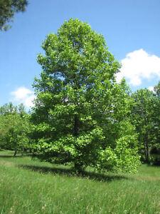 Image result for poplar tree