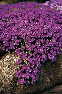 Flower - Aubrieta Hybrida - Cascade Purple - 1500 Seeds - Large