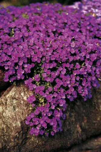 Blumen Blaukissen Hybrida Groß 1500 Samen Cascade Lila