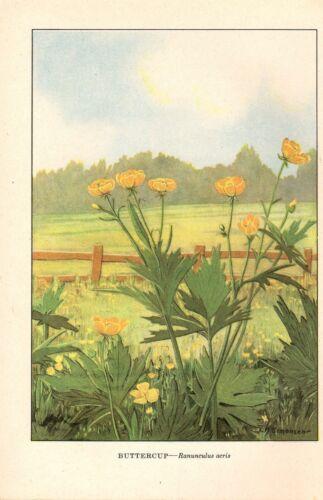 """1926 Vintage WILD FLOWER /""""BUTTERCUP/"""" GORGEOUS COLOR Art Print Lithograph"""