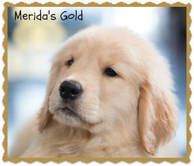 Merida s Gold