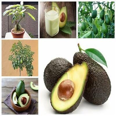5 pcs Rare Green Avocado Bonsai Very Delicious Pear Fruit seeds Very Easy Grow F