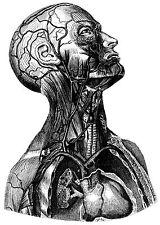 A3 Cartel – Torso Superior y jefe del cuerpo humano (impresión de foto Anatomía)