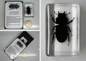 Real insects stag beetle in crystal clear resin  information card on gift box