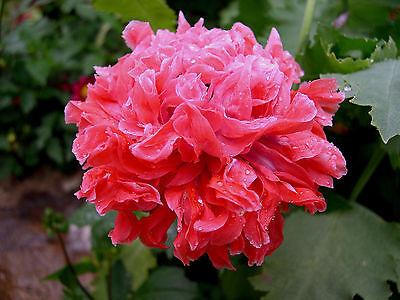 En lot de 50 graines mini KDO Double Varié PAVOT A Fleur de Pivoine