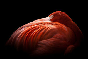 Flamingo-Photo-Art-Print-Poster-18x12-inch