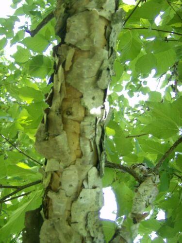 30 HERITAGE RIVER BIRCH SEEDS Betula nigra /'Heritage/'