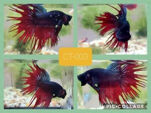 Crowntail blue&red - Live Male Betta Fish - HM003 - high quality