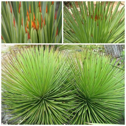 succulente,seed succulents 50 semi di agave striata
